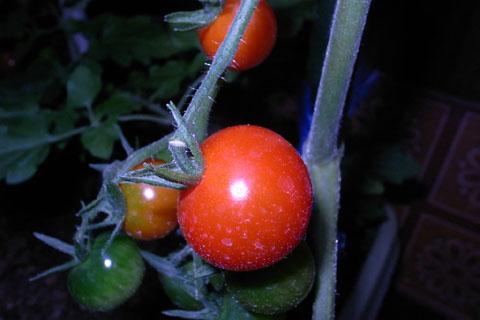家庭菜園0706_a0083760_23481159.jpg