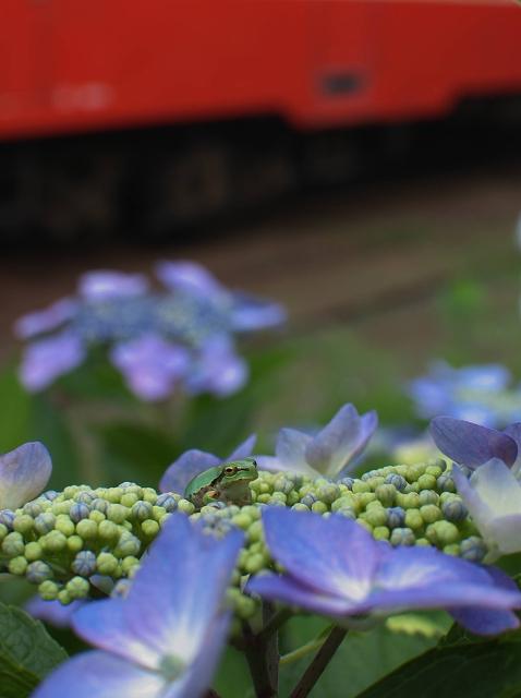 紫陽花の咲く駅 4_f0018464_1412358.jpg