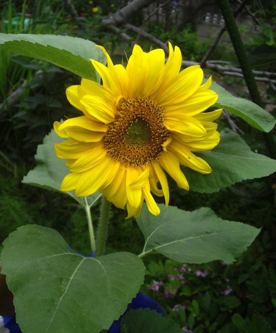 庭の花たち_a0136293_172572.jpg