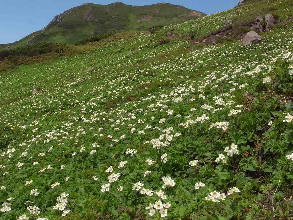 7月6日、花の100名山富良野岳_f0138096_20124984.jpg