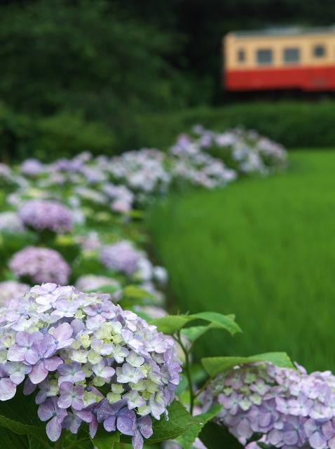 紫陽花の咲く駅 5_f0018464_1691395.jpg