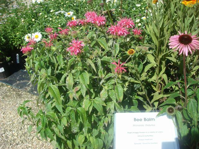 Bee Balmの花を求めて、_d0100880_2105174.jpg