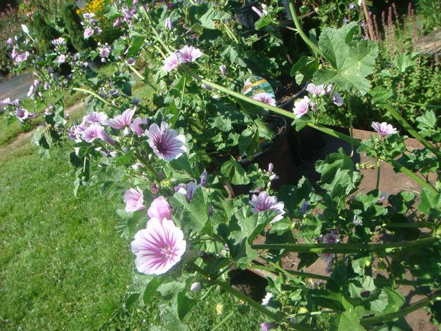 Bee Balmの花を求めて、_d0100880_2116318.jpg