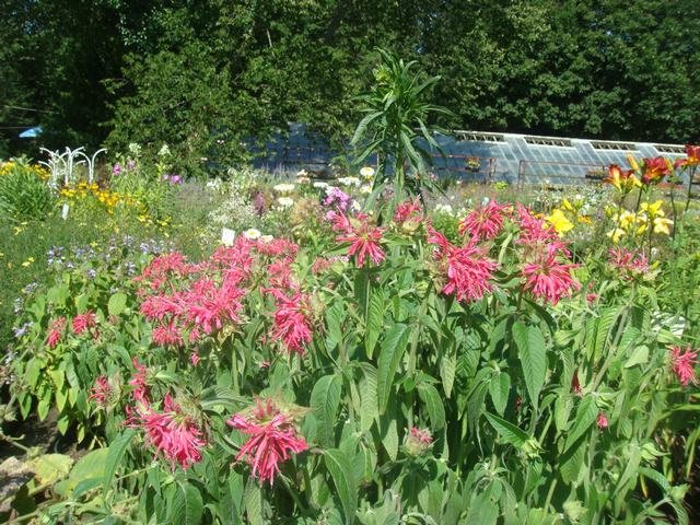 Bee Balmの花を求めて、_d0100880_21164861.jpg