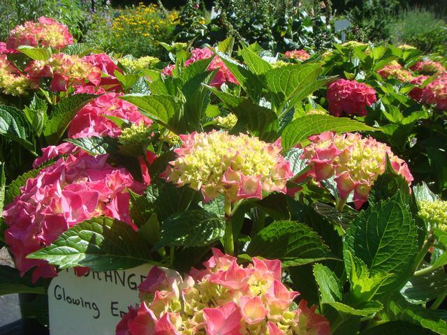 Bee Balmの花を求めて、_d0100880_2117233.jpg