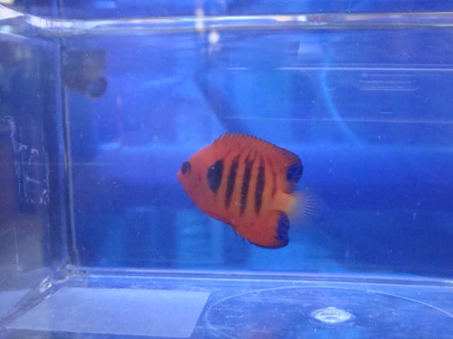 海水魚・サンゴ・水草・日本産淡水魚_f0189122_1259155.jpg