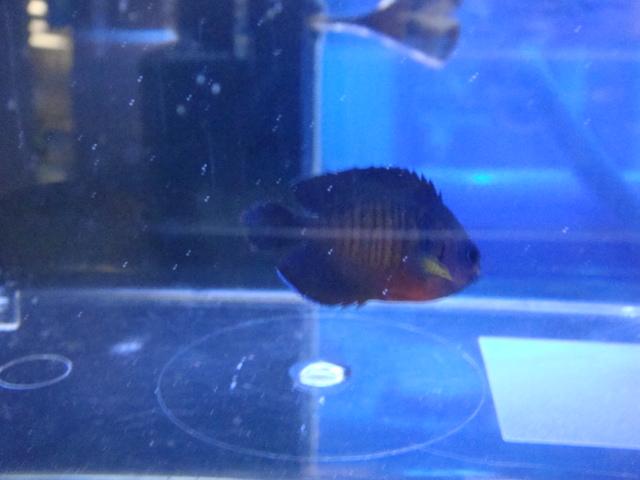 海水魚・サンゴ・水草・日本産淡水魚_f0189122_1305483.jpg