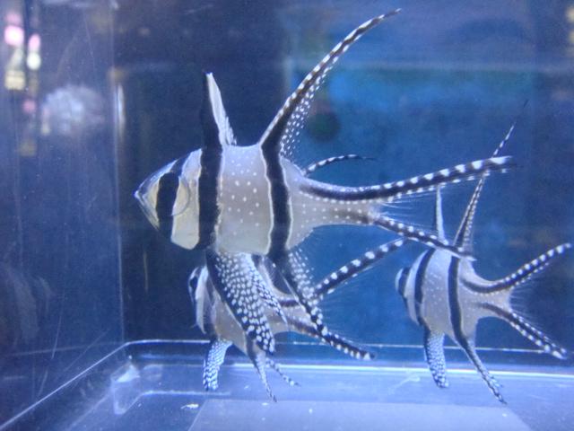 海水魚・サンゴ・水草・日本産淡水魚_f0189122_1335867.jpg