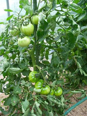 ミニトマトは収穫始まったけれど_c0063348_1375195.jpg