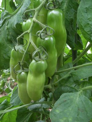 ミニトマトは収穫始まったけれど_c0063348_1382192.jpg