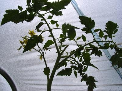ミニトマトは収穫始まったけれど_c0063348_1383983.jpg