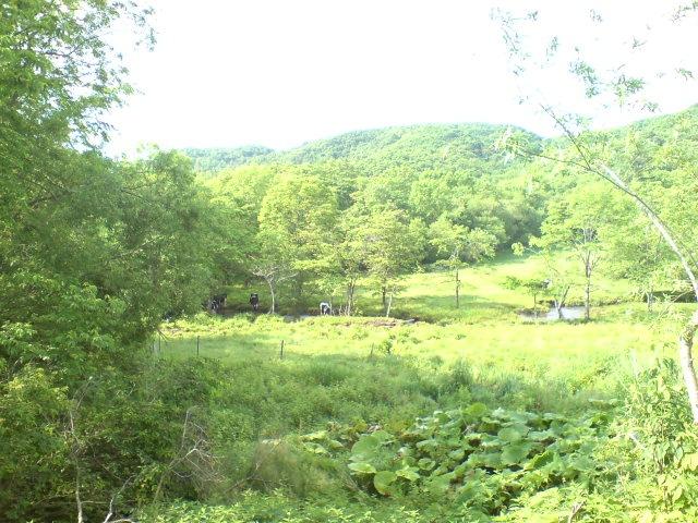 放牧地の牛たち。_b0047734_642298.jpg