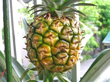 熟し始めたパイナップル