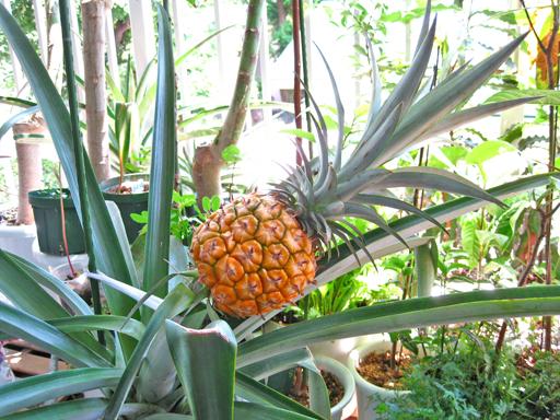 収穫間近の鉢植えパイナップル