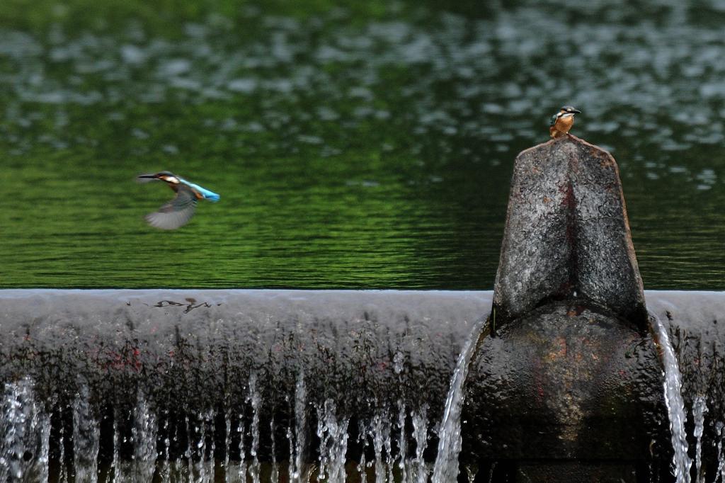 カワセミ雛、滝でニアミス/タシロラン_b0024798_4443350.jpg