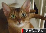 にほんブログ村 猫ブログ アビシニアン