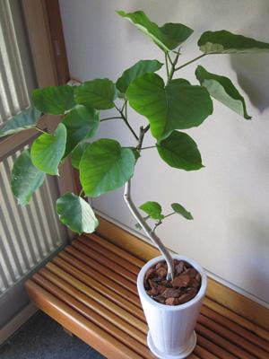 観葉植物を入荷しました!_a0118355_21174466.jpg