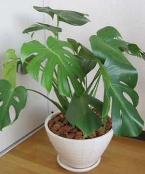 観葉植物を入荷しました!_a0118355_21345485.jpg