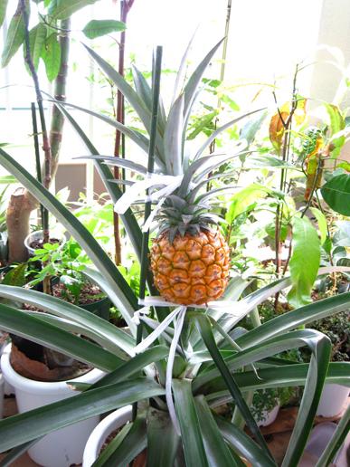 収穫直前の鉢植えパイナップル