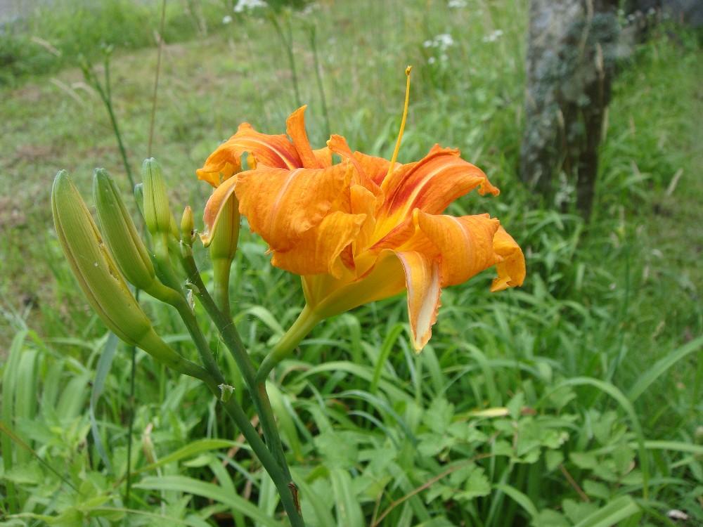 ヤブカンゾウが咲きました_c0111229_18114953.jpg