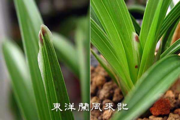 日本春蘭多芸奇花「龍華」                No.292_b0034163_15444358.jpg