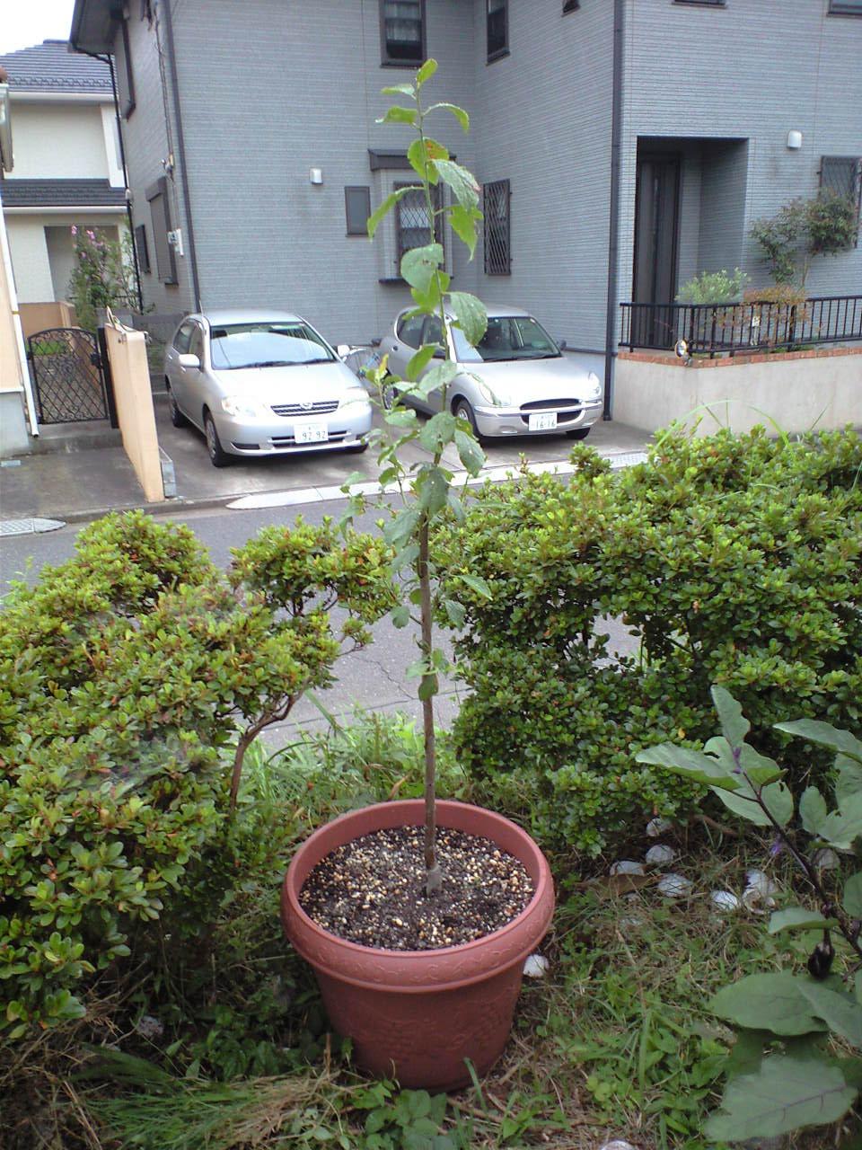 最近増えた植木たち_c0197684_20534092.jpg