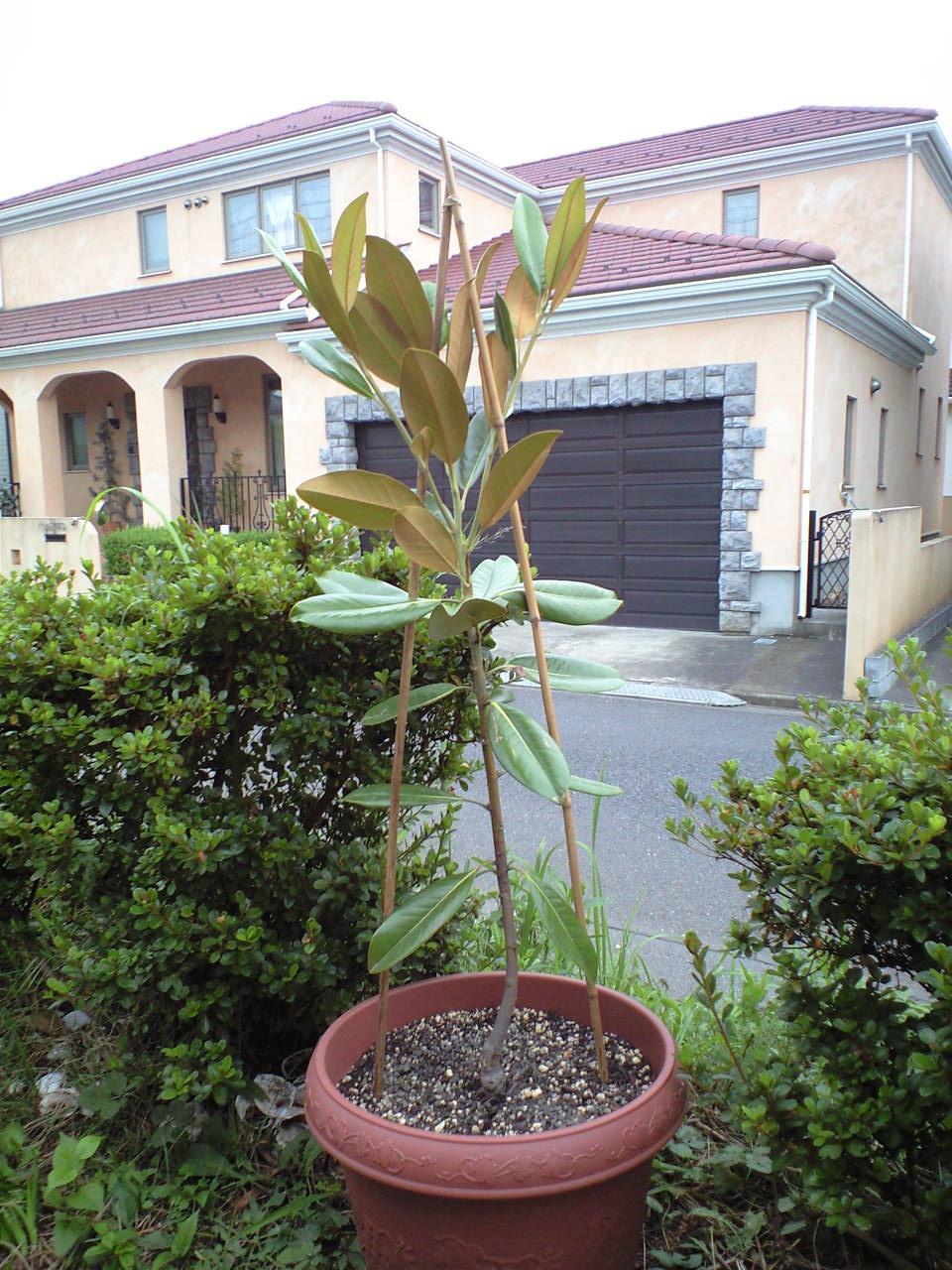 最近増えた植木たち_c0197684_2055019.jpg