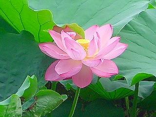 不忍池の蓮 (蓮① 江戸の花)_c0187004_22385629.jpg