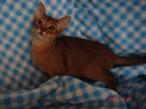 アビシニアン子猫ちゃん アンバーxタイキ_e0033609_14382659.jpg