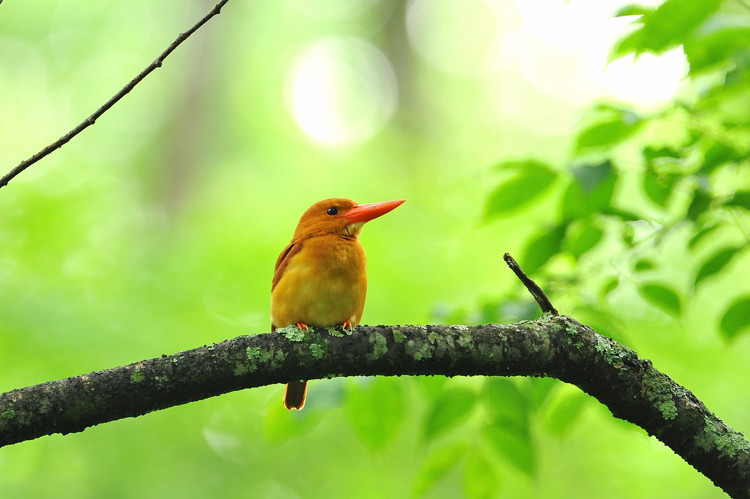 アカショウビン(Ruddy Kingfisher)_b0148352_22391697.jpg