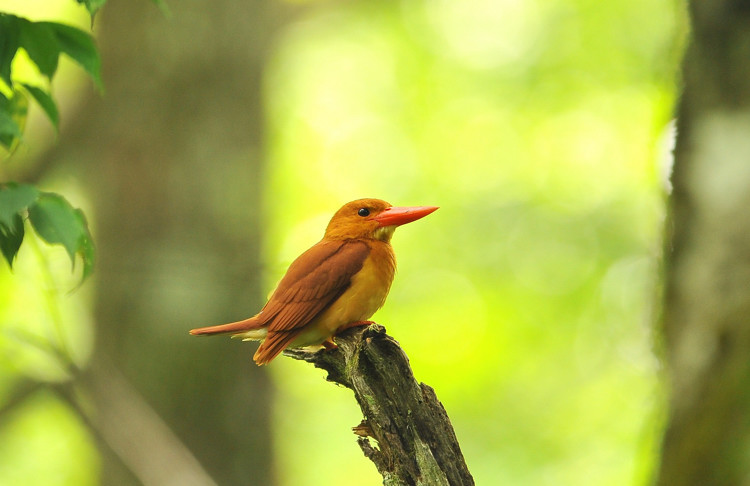 アカショウビン(Ruddy Kingfisher)_b0148352_22412578.jpg