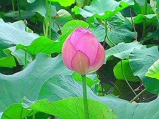 蓮の花  (蓮② 江戸の花)_c0187004_1125893.jpg