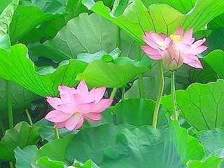 蓮の音と香り (蓮③ 江戸の花)_c0187004_116664.jpg