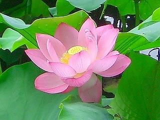 蓮の音と香り (蓮③ 江戸の花)_c0187004_18223218.jpg