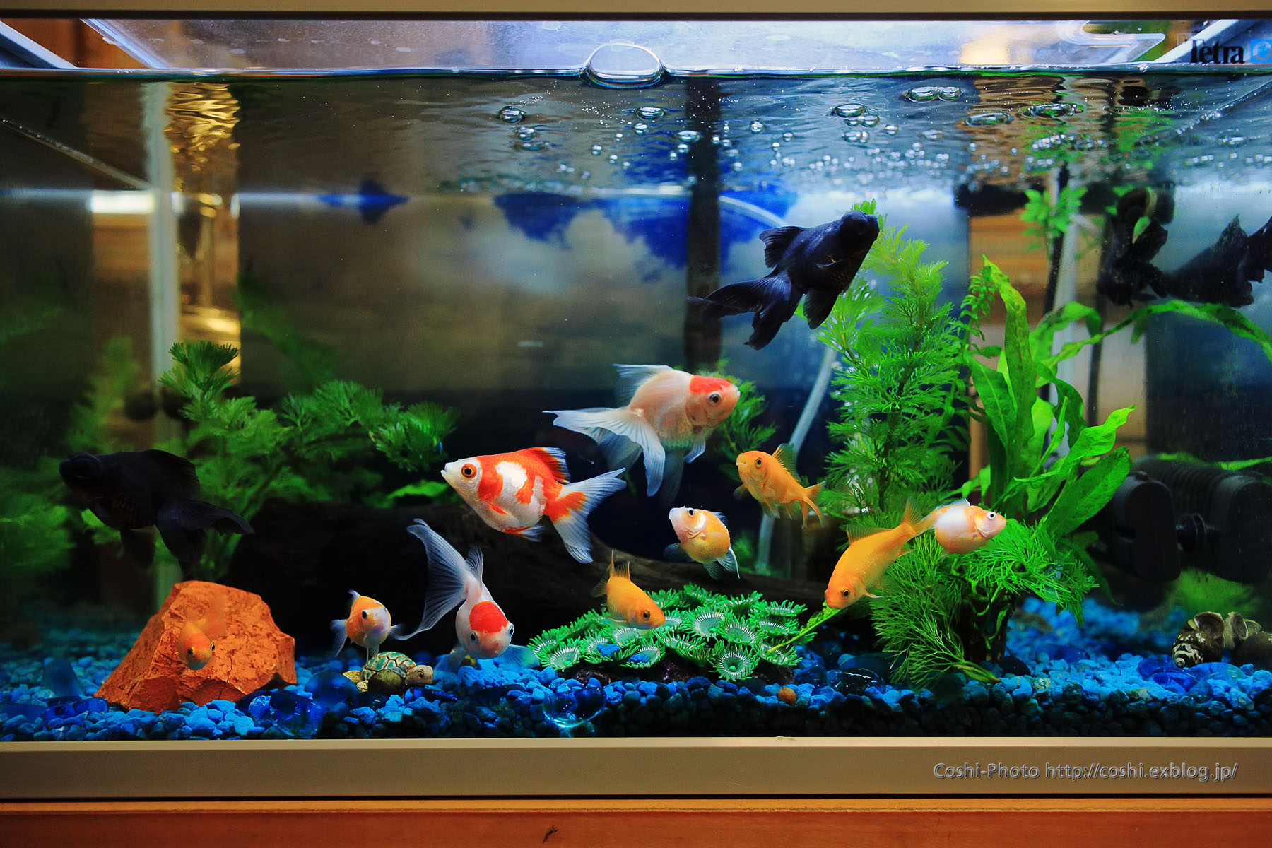 Fantail goldfish for Aquarium decoration for goldfish