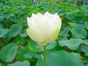 即非蓮  (蓮⑥ 江戸の花)_c0187004_21145287.jpg