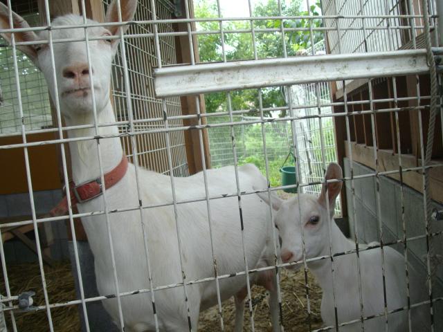 手嶋さんちの山羊(ヤギ)の親子です_d0139806_23145771.jpg