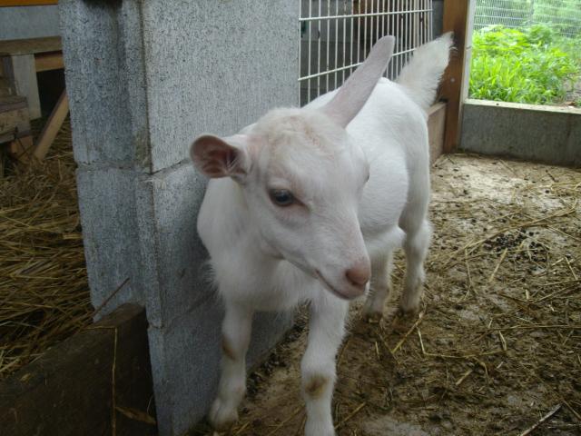 手嶋さんちの山羊(ヤギ)の親子です_d0139806_23215584.jpg