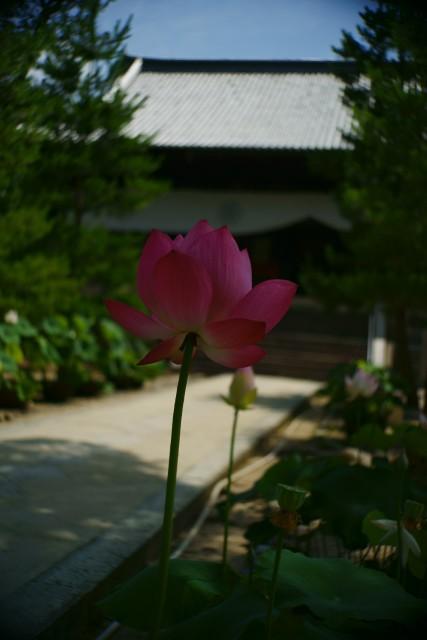 萬福寺の蓮2_e0177413_22282998.jpg
