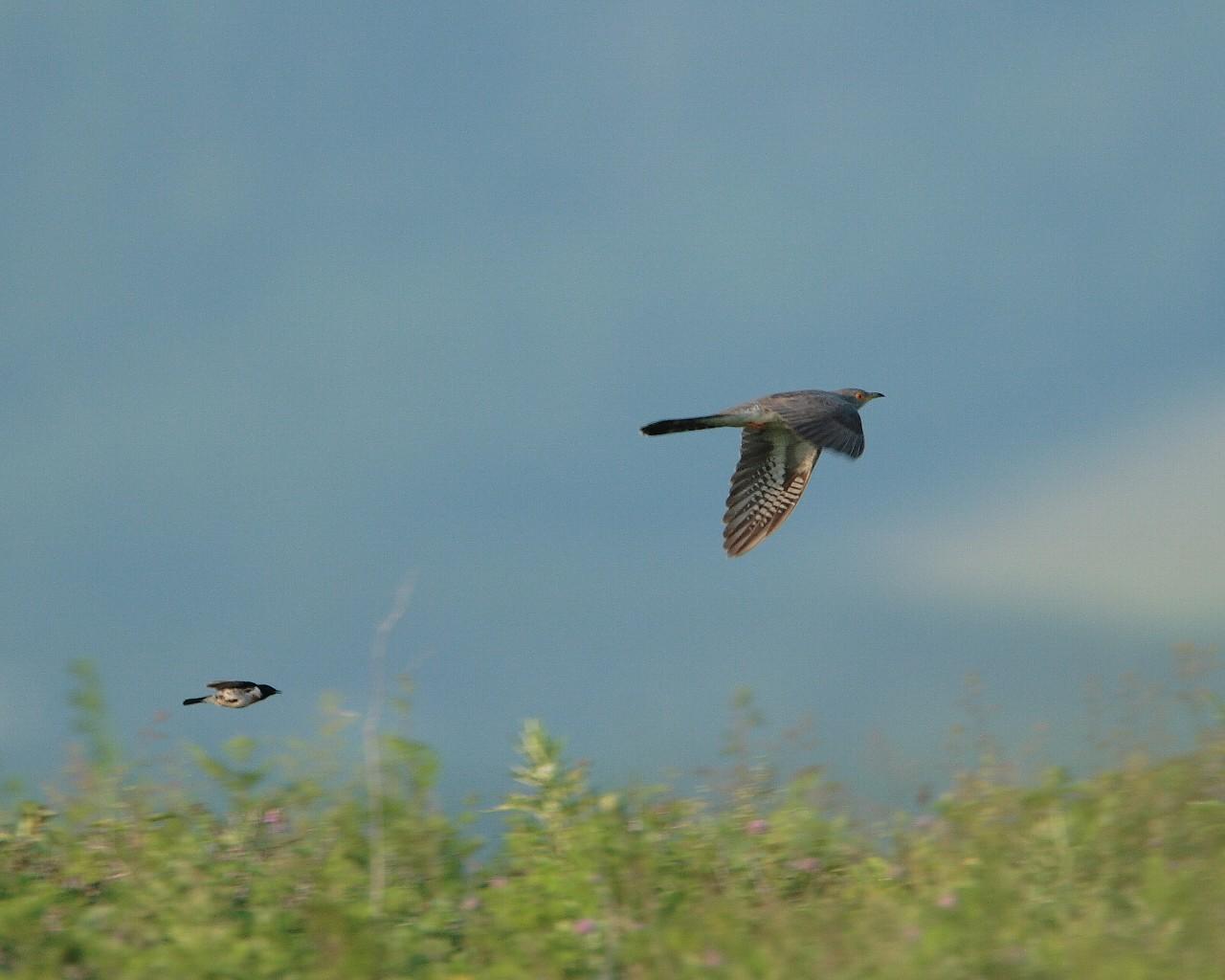 原生花園の野鳥達その6 ノビタキに追われるカッコウ_f0105570_1812136.jpg