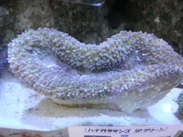 海水魚・サンゴ・水草・日本産淡水魚_f0189122_13103525.jpg
