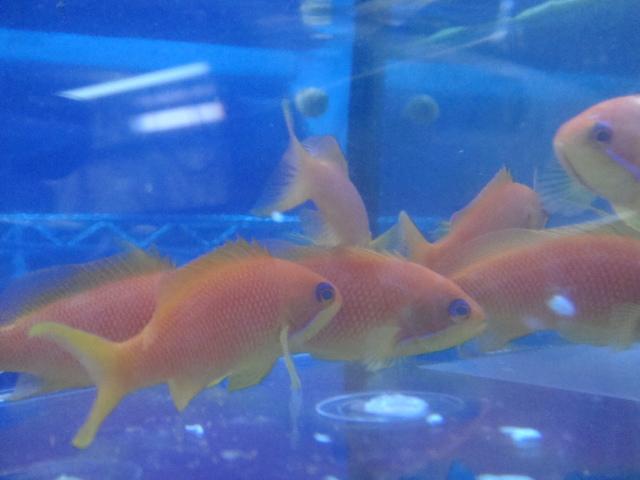 海水魚・サンゴ・水草・日本産淡水魚_f0189122_13743100.jpg