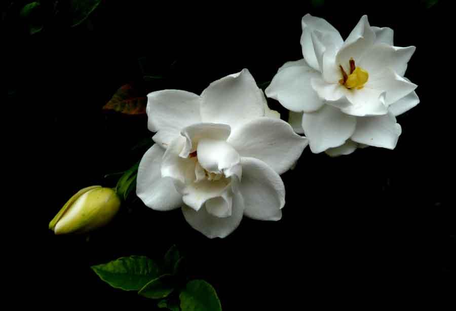 景林町の家の「くちなしの花」_f0150893_17563332.jpg