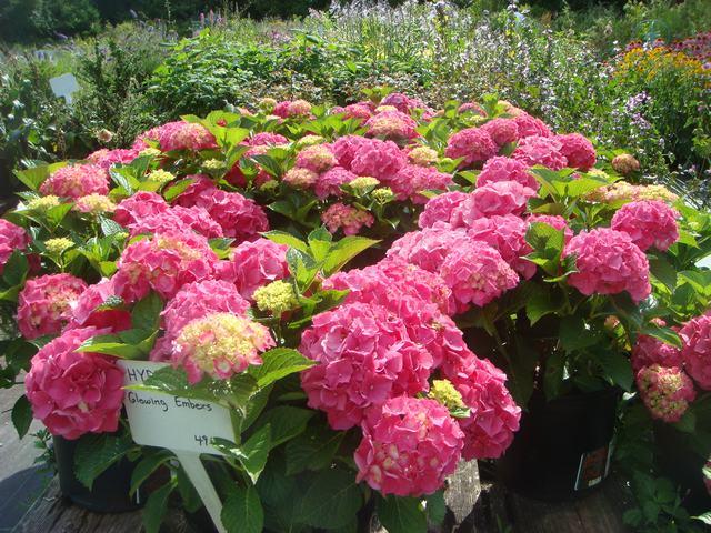 田舎の苗木園は夏の花の狂宴まっさなか、_d0100880_7554542.jpg