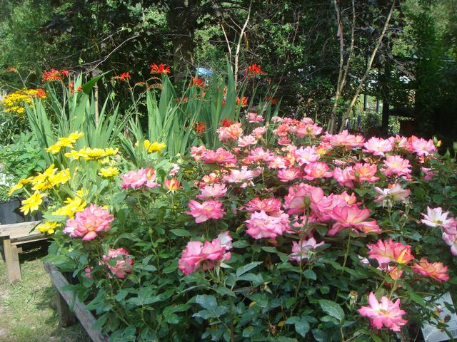 田舎の苗木園は夏の花の狂宴まっさなか、_d0100880_831643.jpg