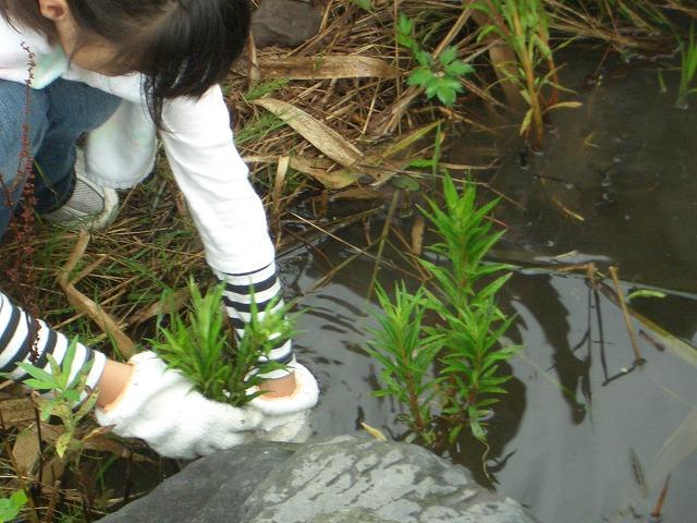浮島ヶ原自然公園のタコノアシ救出作戦!_f0141310_23243288.jpg