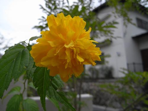 黄色い花が一輪_a0004752_1529551.jpg