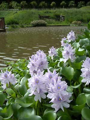 ホテイアオイが綺麗でした & カモメが水遊び_e0097770_10274613.jpg