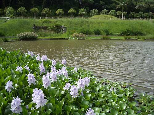 ホテイアオイが綺麗でした & カモメが水遊び_e0097770_10282413.jpg