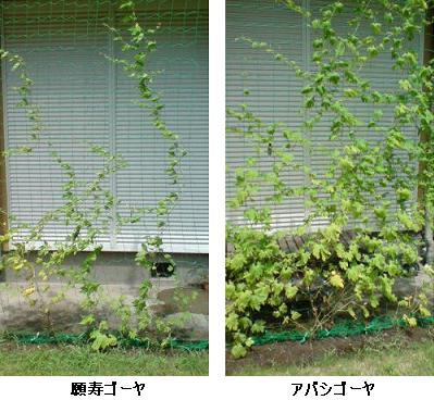 緑のカーテン、ゴーヤは2種類で その7_e0097895_22535368.jpg